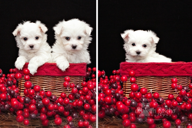 Pure Maltese Puppies