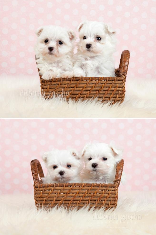 "alt=""maltese puppies for sale in ontario"""