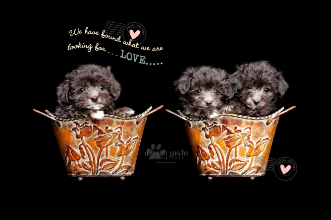 Ontario puppies Maltese x Poodle