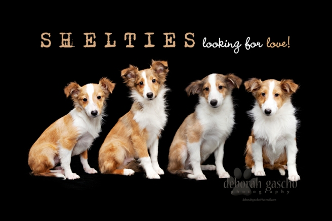 Shelties For Sale in Ontario, Canada