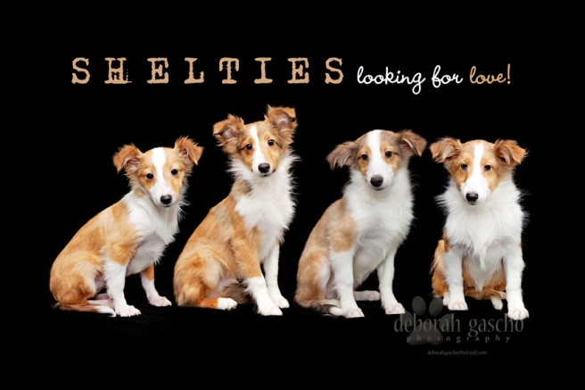 "alt=""shelties for sale in ontario"""