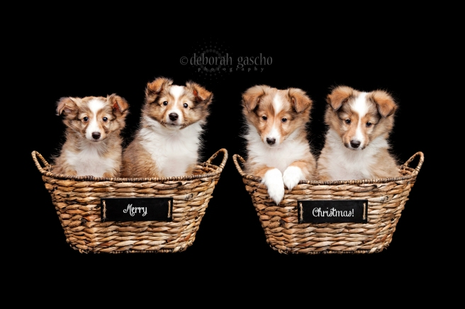 "alt=""sheltie puppies for sale in canada"""