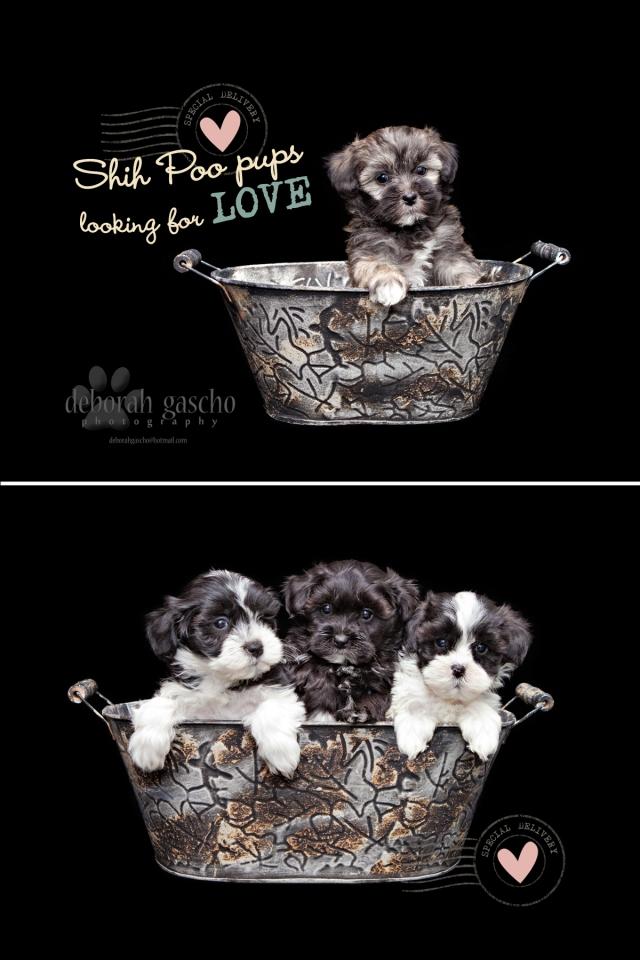 Shih Poo Ontario Puppies