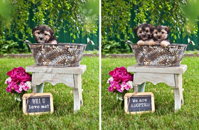 Morkie Puppies Ontario