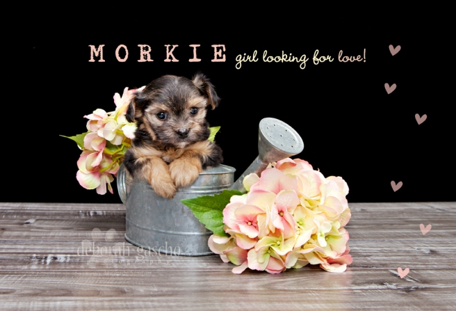 Morkie puppies For Sale in Ontario, Canada
