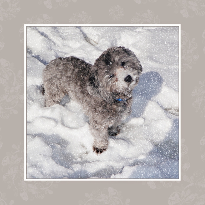 Shih Poo Dog Loving the Snow