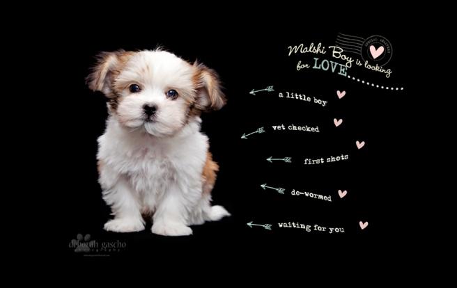 Malshi Puppy Ontario Puppies