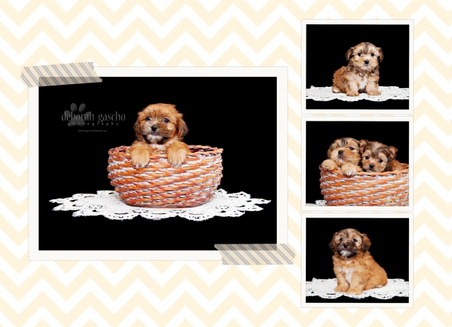 Shorkie Puppies Ontario