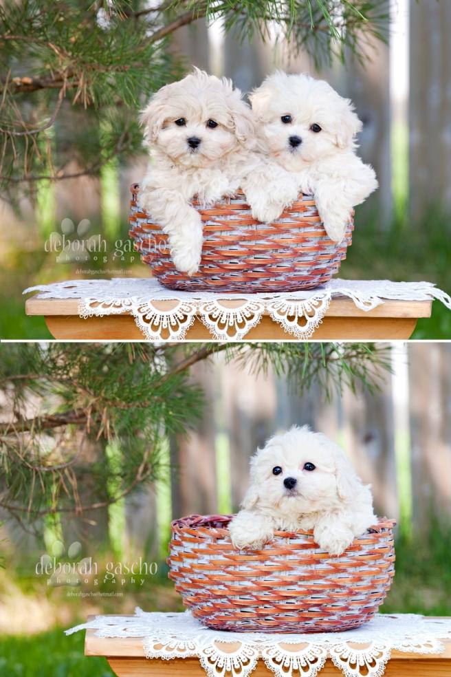 Pekingese x Poodle