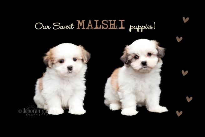 "alt=""willowbrook malshi puppies in Ontario"""