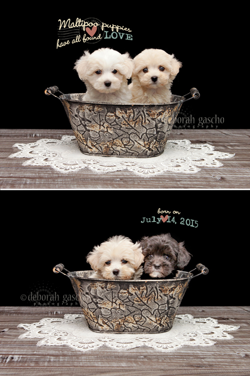 "alt=""Maltipoo Puppies in Ontario"""