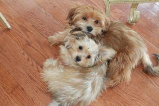 "alt=""peekapoo puppies for sale in Ontario"""