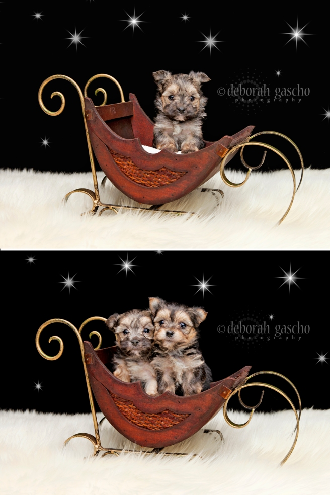 "alt=""morkie puppies for sale in ontario"