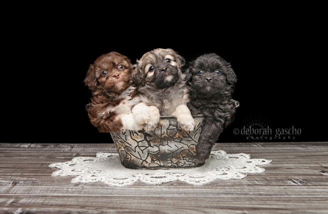 "alt=""peekapoo puppies for sale in Ontario"""
