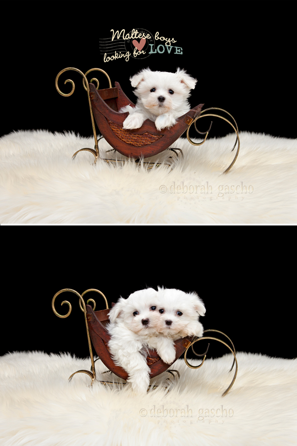 "alt=""maltese puppies for sale in ontario"""