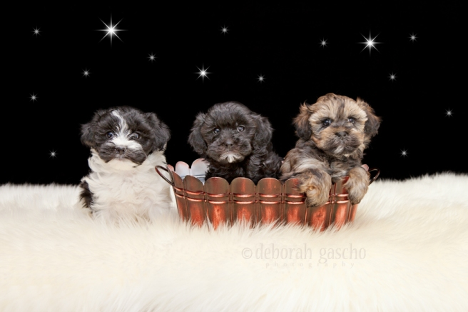 "alt=""shihtzu poodle puppies for sale in ontario"""