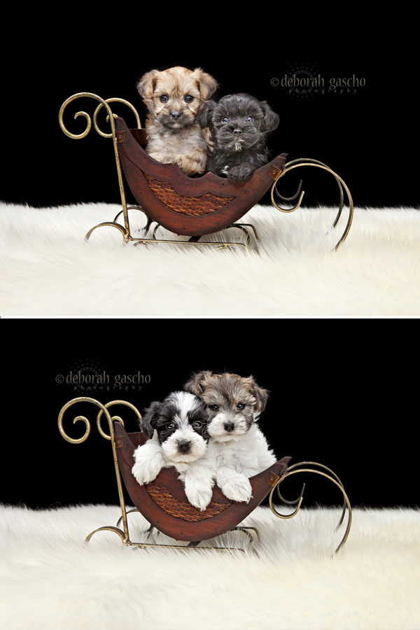 "alt=""yorkie poo puppies for sale in ontario"""