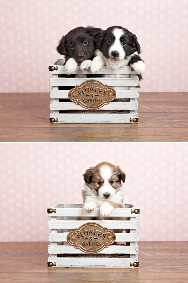 "alt=""sheltie retriever puppies for sale in Ontario"""
