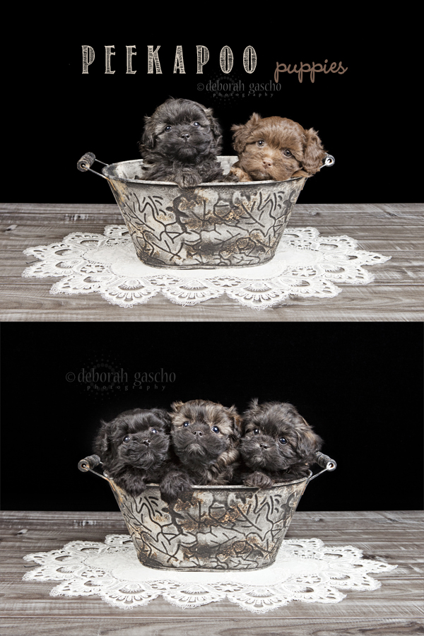 """alt=""""puppies for sale in ontario"""""""