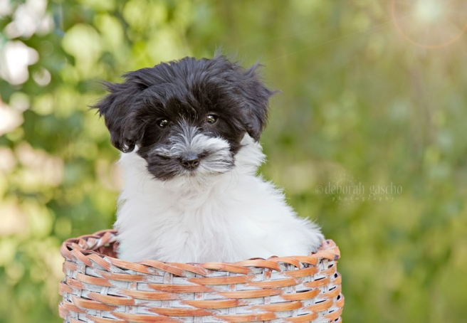 "alt=""shorkie puppies for sale in ontario"""
