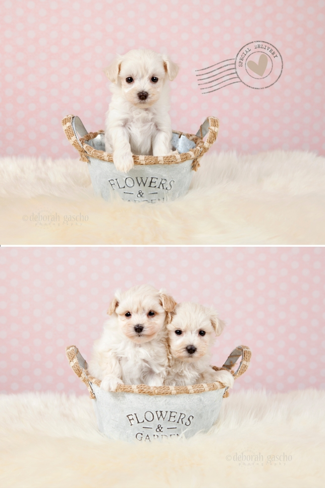 "alt=""Maltese x Shih Tzu puppies at Willowbrook Kennel"""
