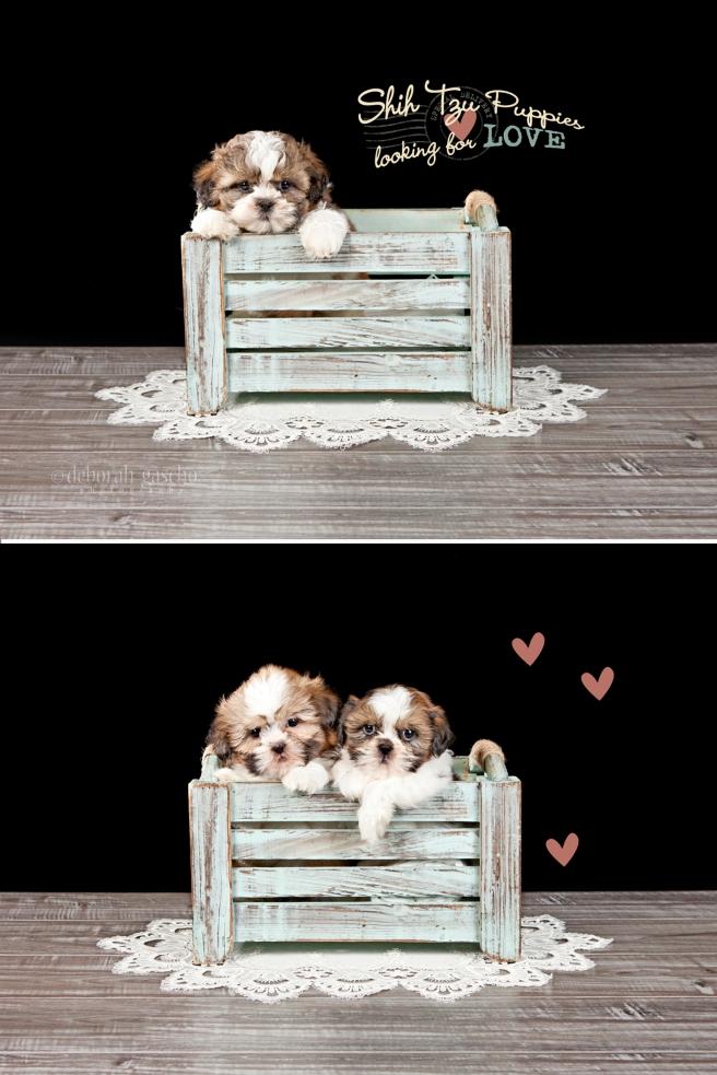 """alt=""""ShihTzu puppies for sale in Ontario"""""""