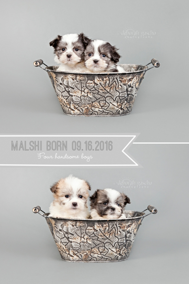 "alt=""maltese x shih tzu puppies for sale in ontario"""