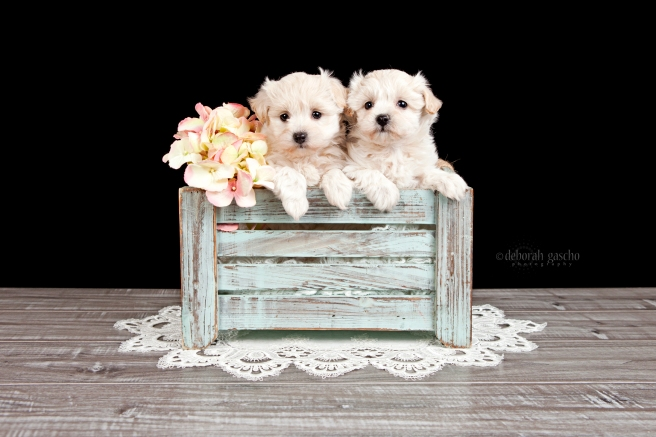 "alt=""maltese x poodle puppies for sale in ontario"""
