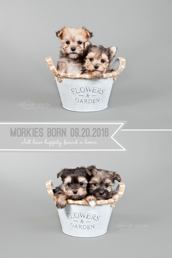 """alt=""""morkie puppies for sale in ontario"""""""