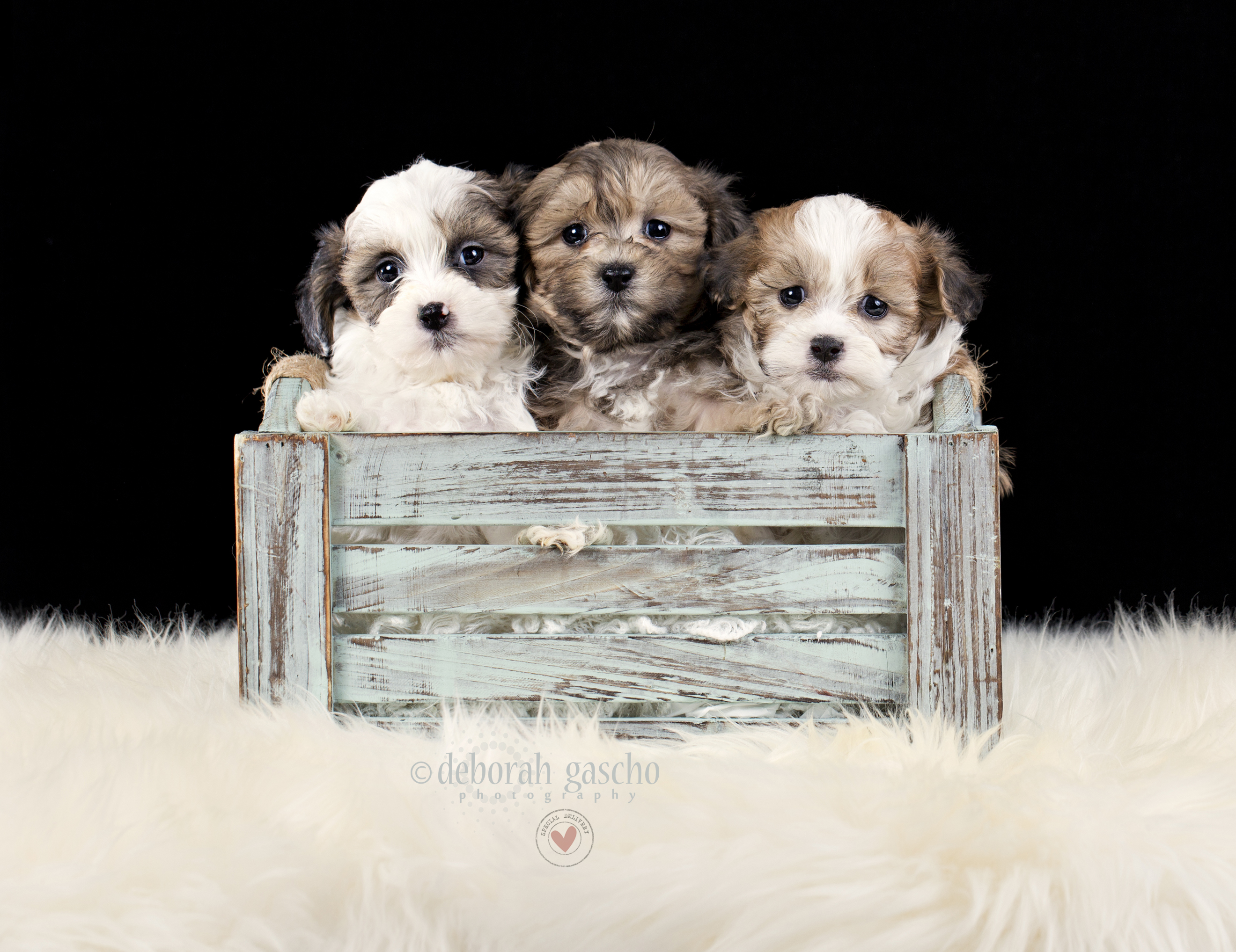 "alt=""shih poo puppies for sale in ontario"""