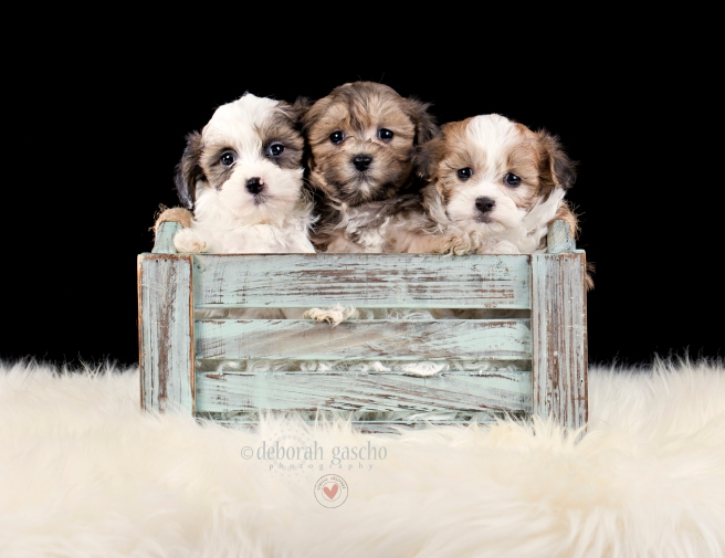 """alt=""""shih poo puppies for sale in ontario"""""""