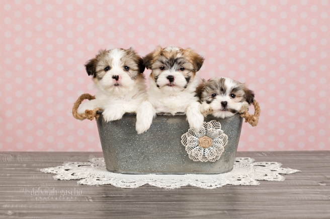 "alt=""maltese x shih tzu puppies for sale in ontario"""