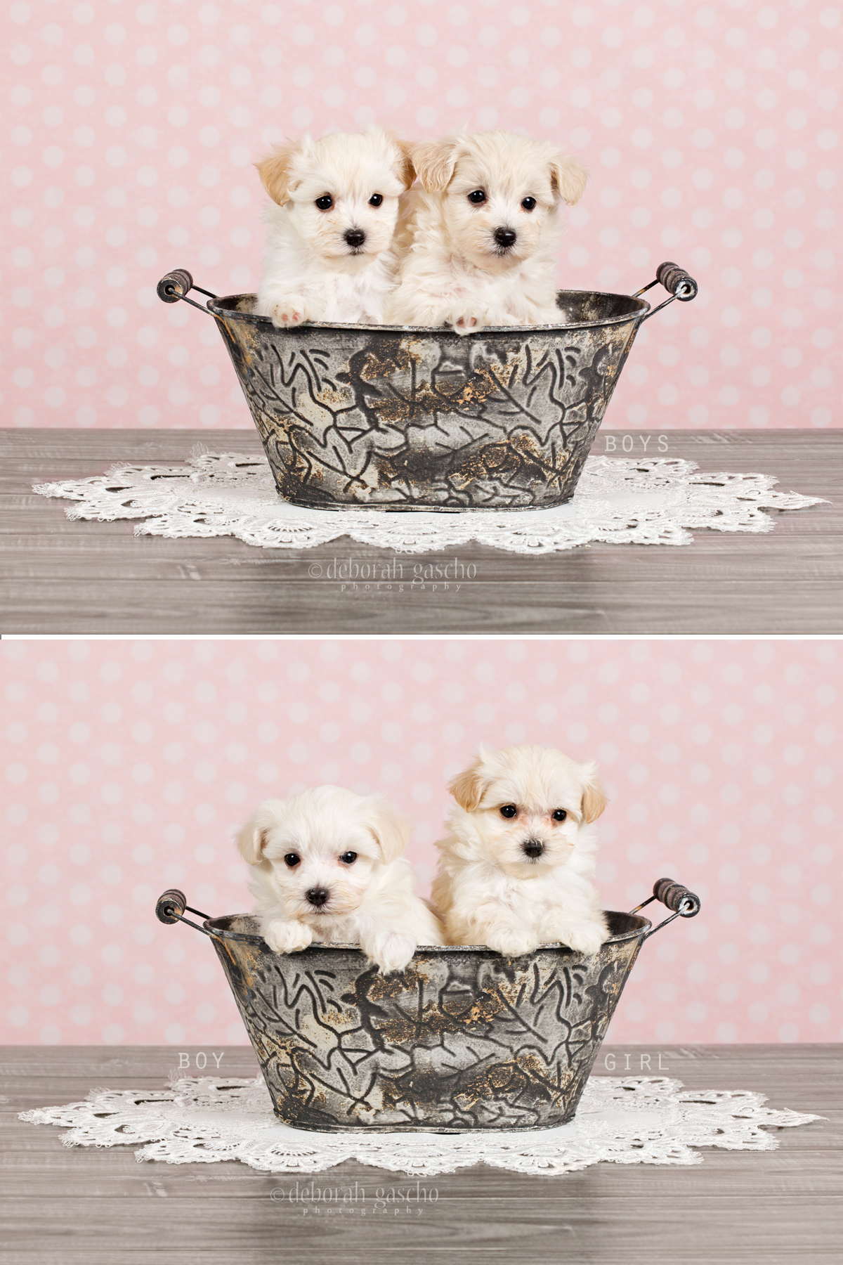 "alt=""maltipoo puppies for sale in ontario"""