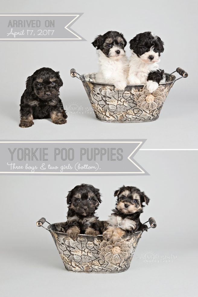 "alt=""yorkie poo puppies for sale at Willowbrook Kennel"""