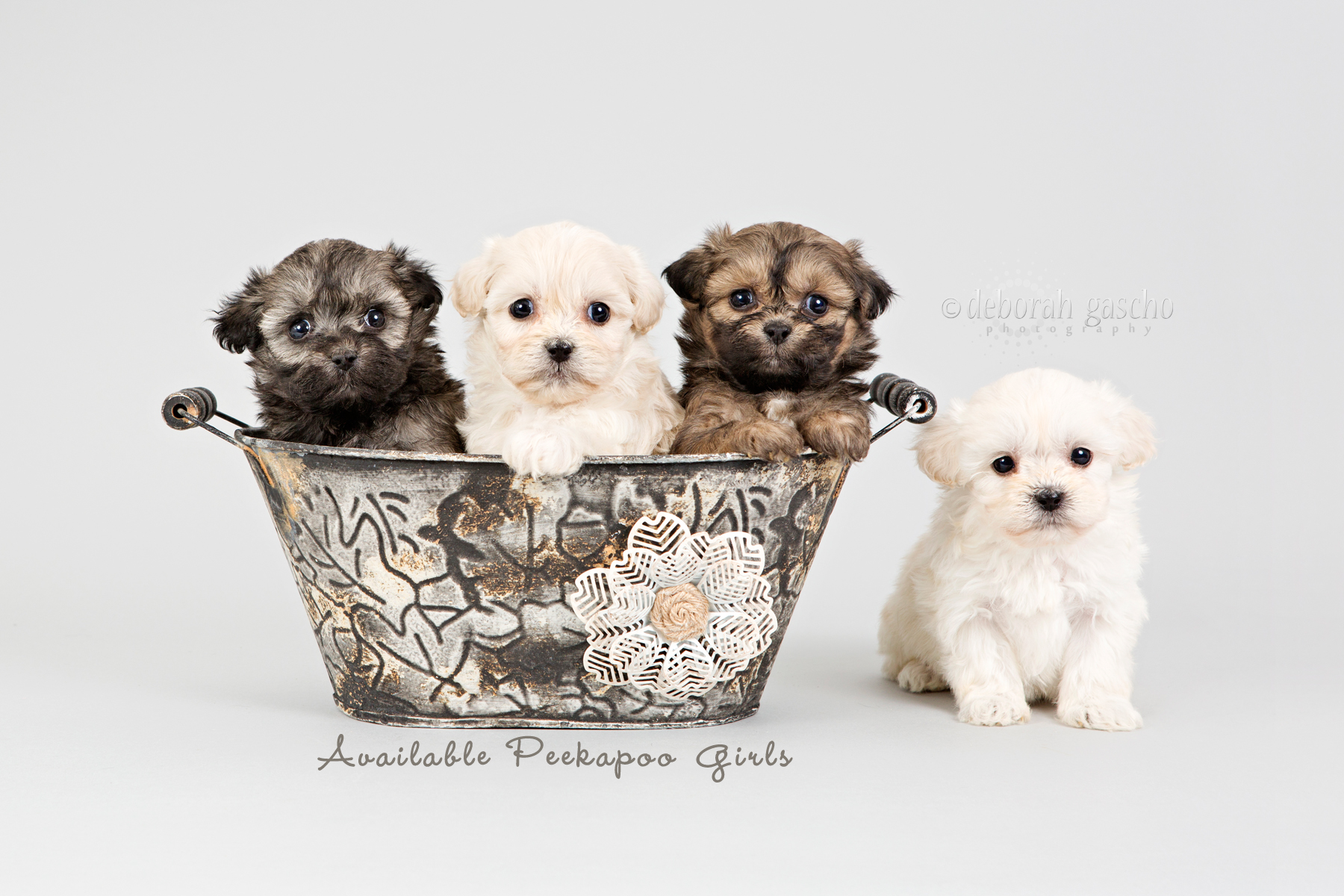 "alt=""puppies for sale at Willowbrook Kennel"""