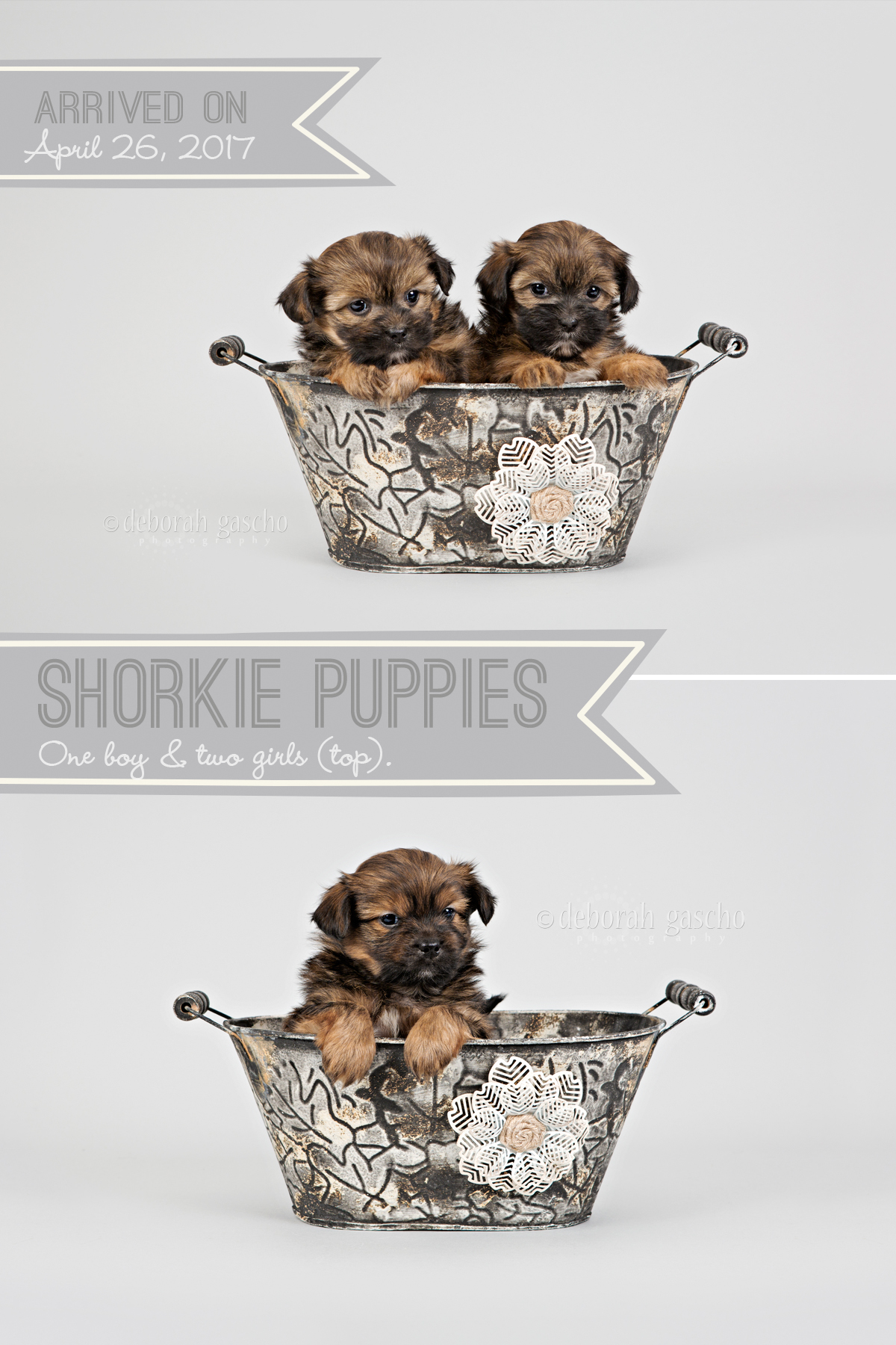 "alt=""shorkie puppies for sale in ontario"