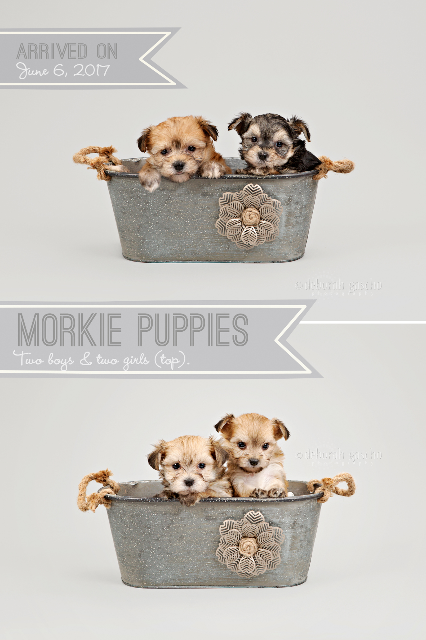 "alt=""maltese x yorkie puppies for sale in ontario"""