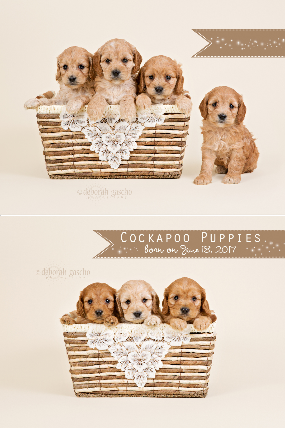 "alt=""cockapoo puppies for sale in ontario"""