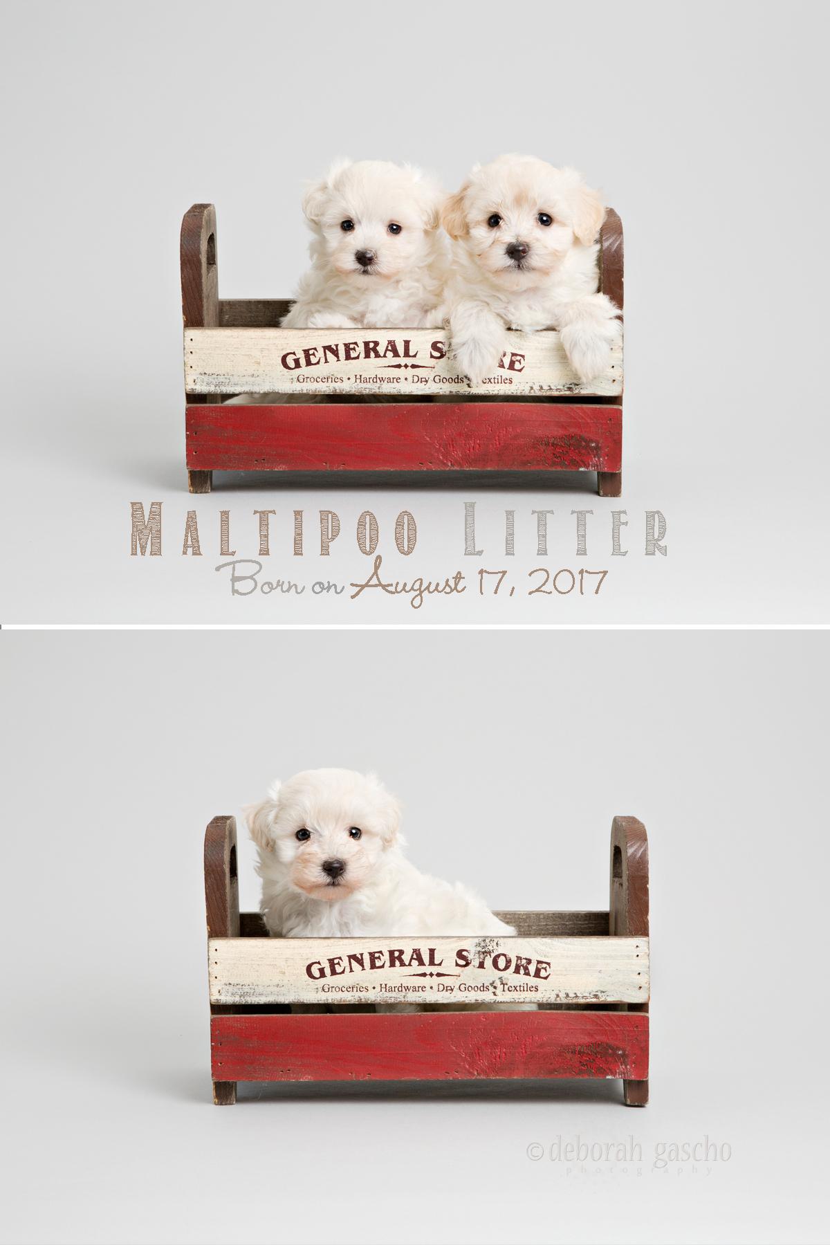 "alt=""Willowbrook Kennel puppies"""