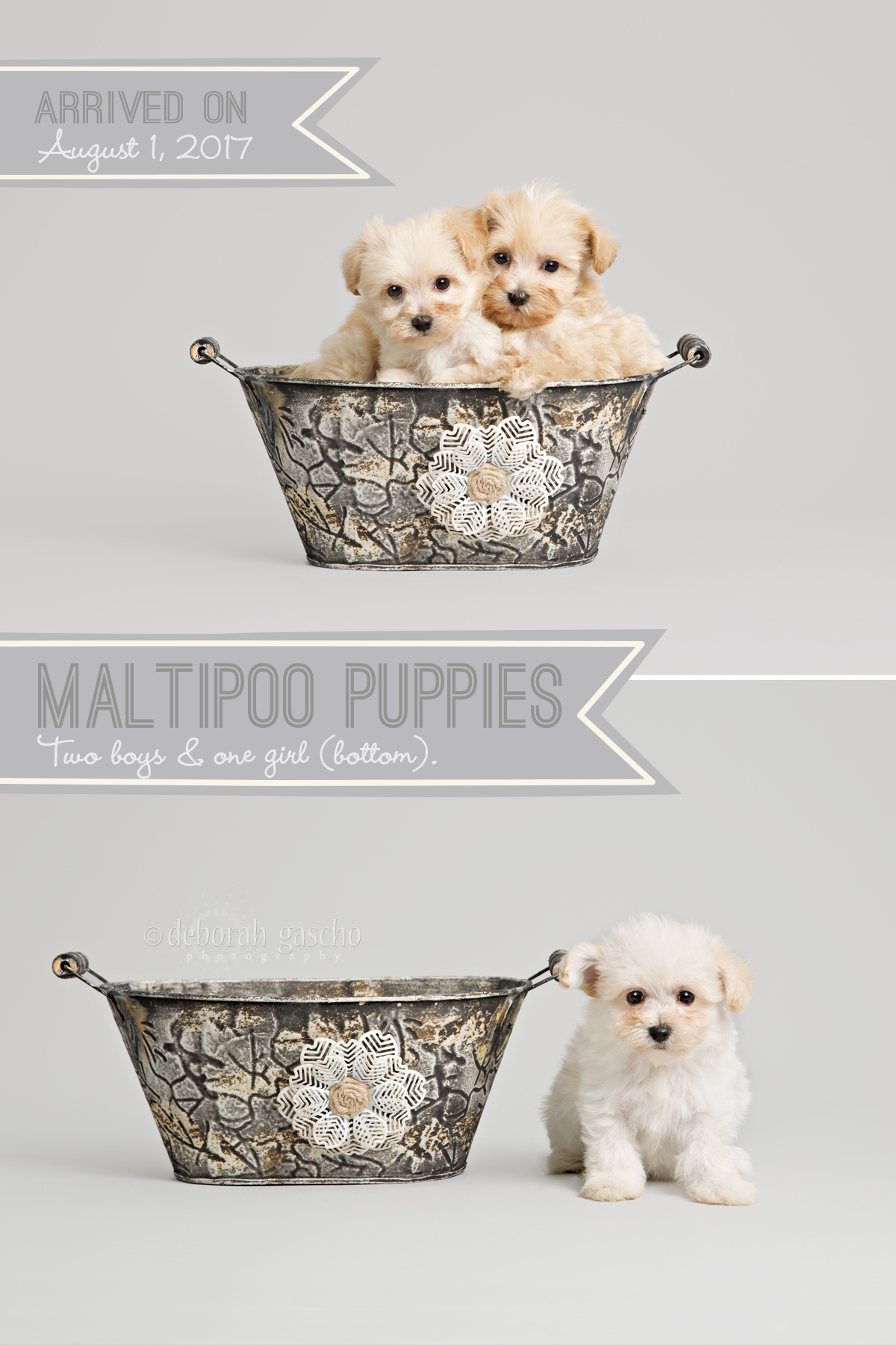 "alt=""puppies for sale at Willowbrook Kennel in Ontario"""