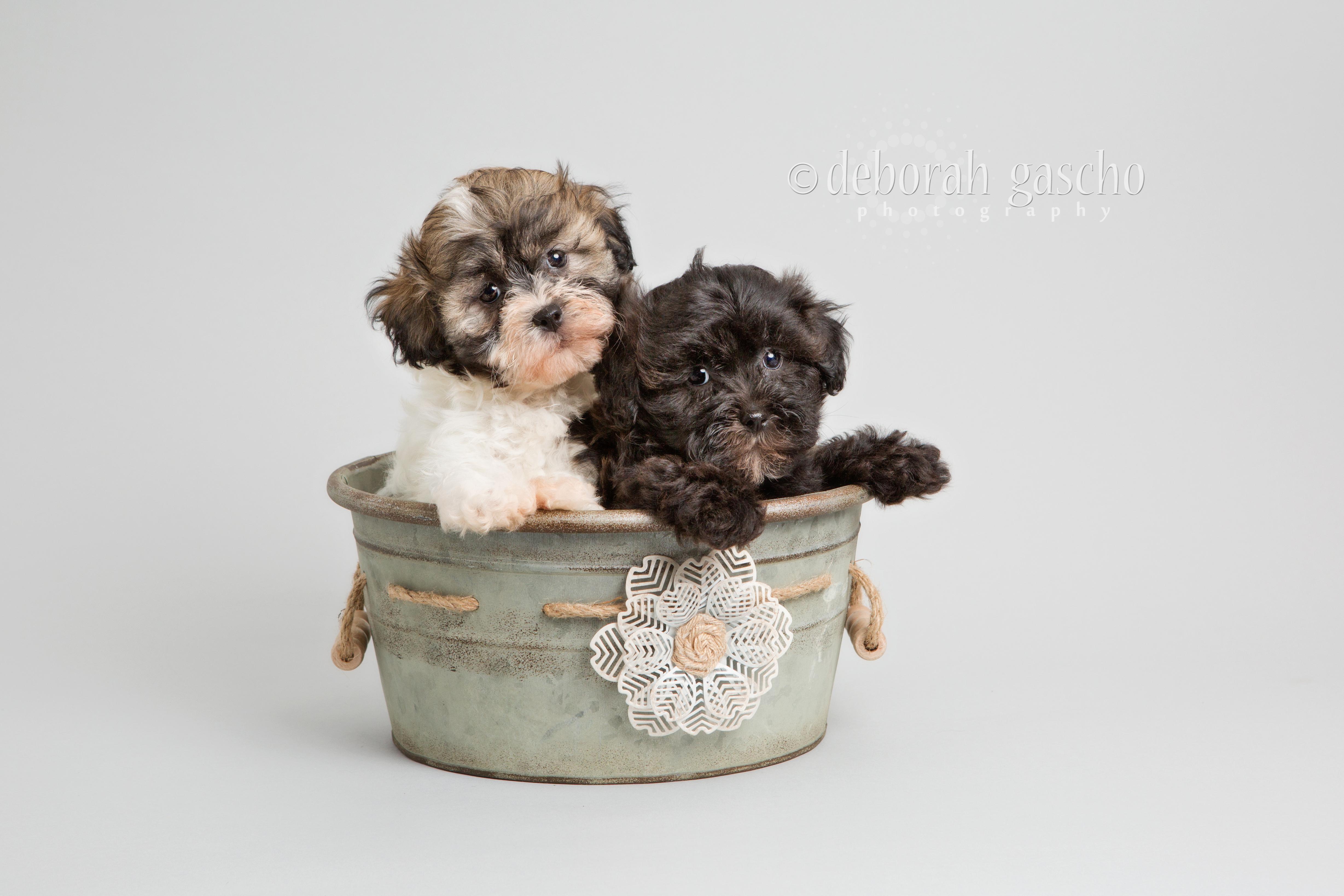 "alt=""shih tzu poodle puppies for sale at Willowbrook Kennel"""