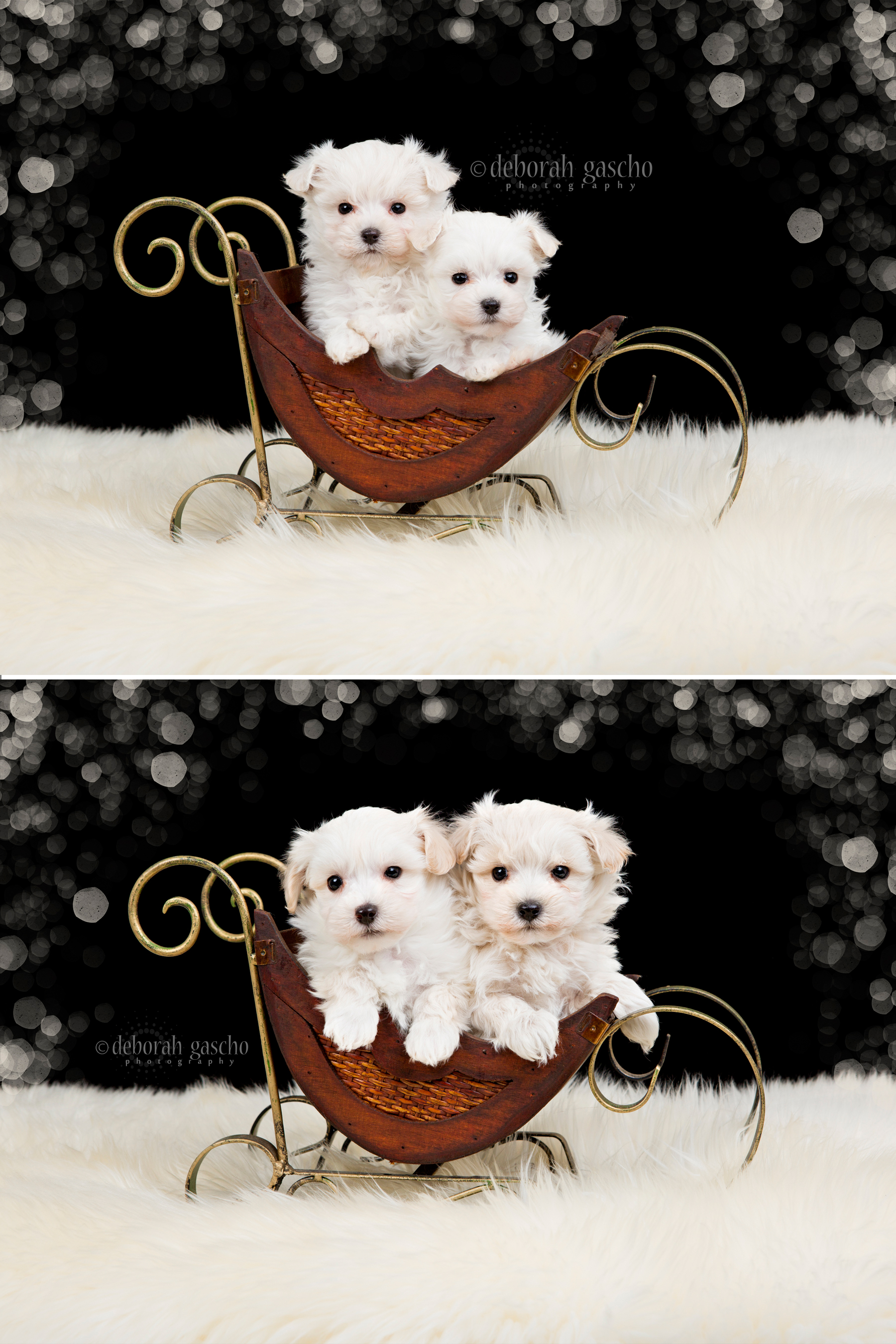 """alt=""""toy poodle x maltese puppies for sale in ontario"""""""