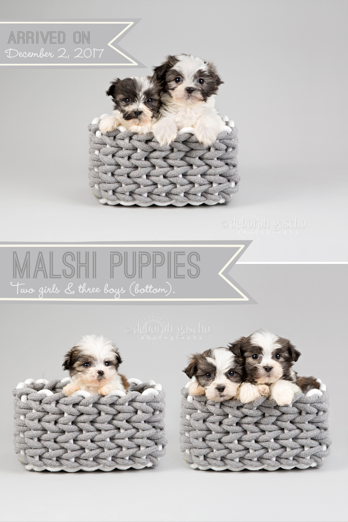"alt=""maltese x shih tzu puppies for sale at Willowbrook Kennel"""