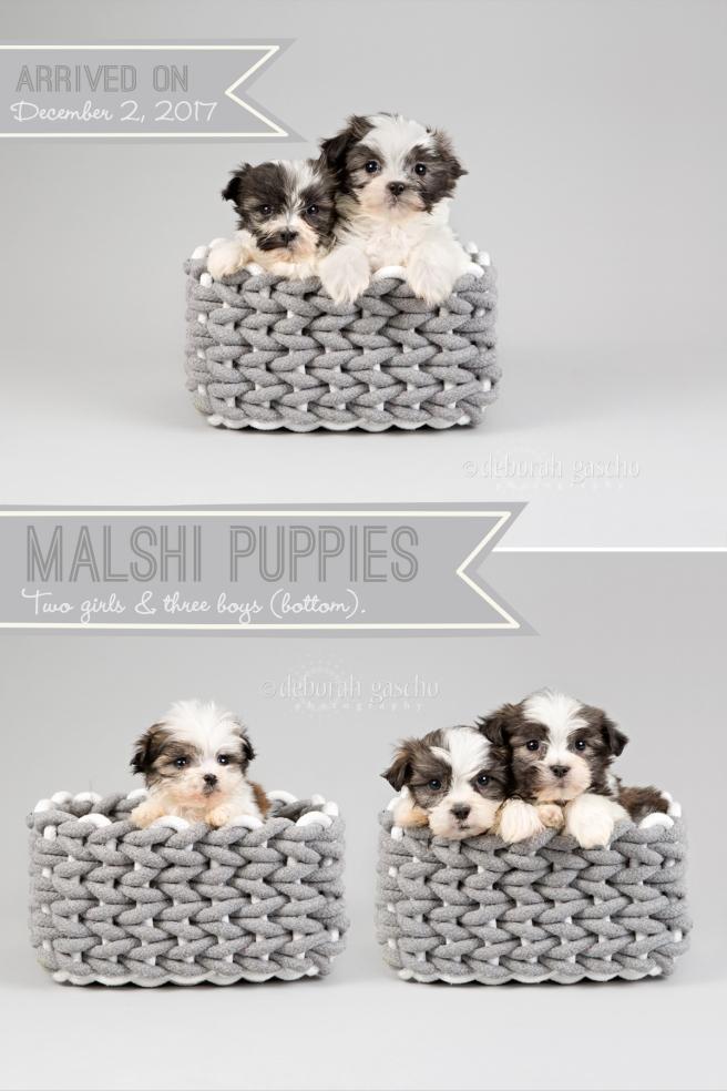 "alt=""maltese x shih tzu puppies for sale at Willowbrook Kennel"""