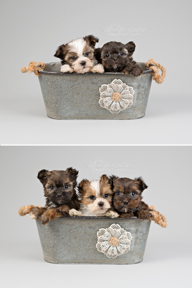 "alt=""shih tzu x yorkie puppies for sale in Ontario"""