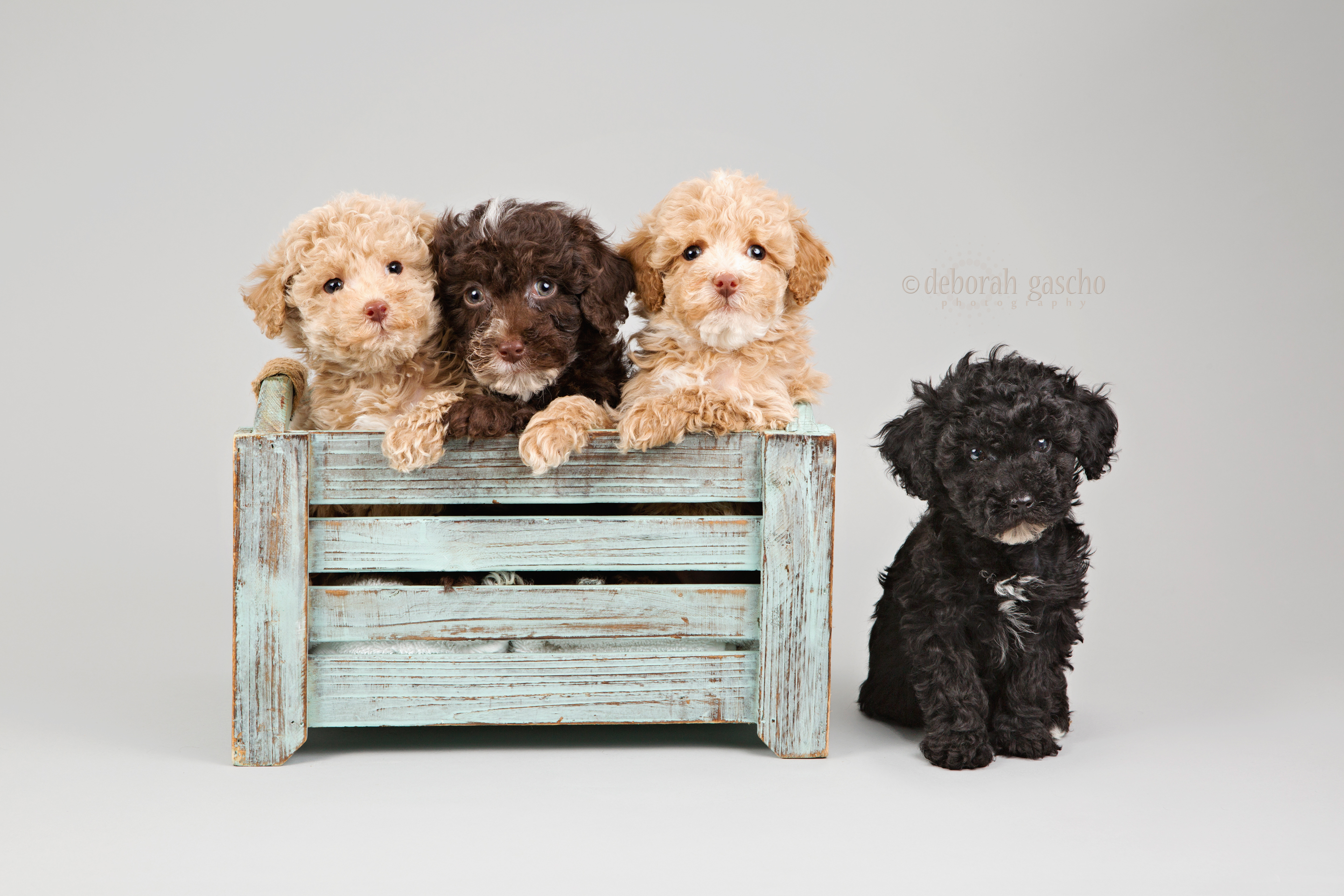Pure Toy Poodle Puppies For Sale In Ontario Willowbrook