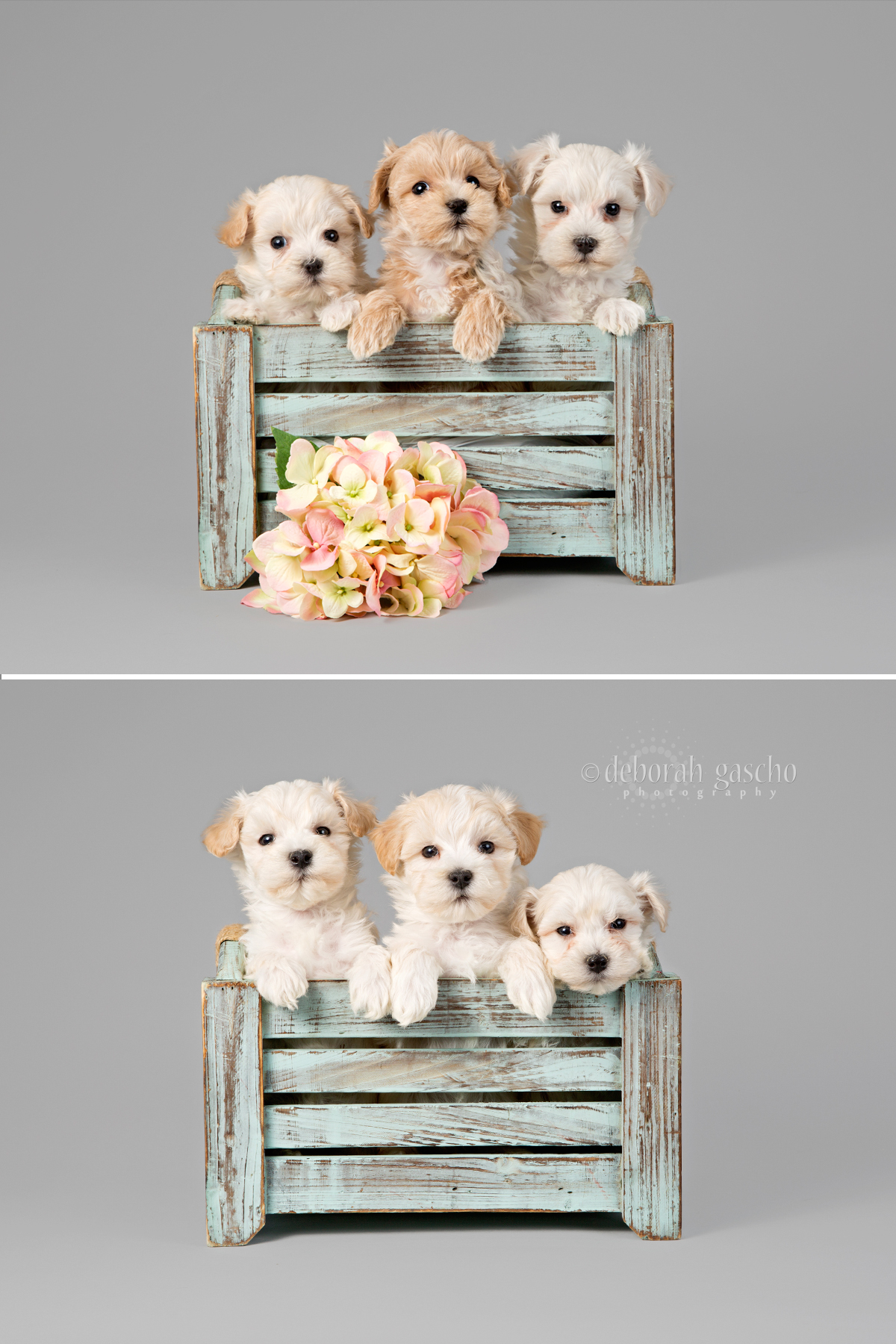 "alt=""maltese x toy poodle puppies for sale in Ontario"""
