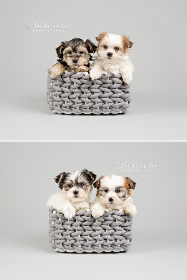 "alt=""morkie puppies for sale in Ontario"""