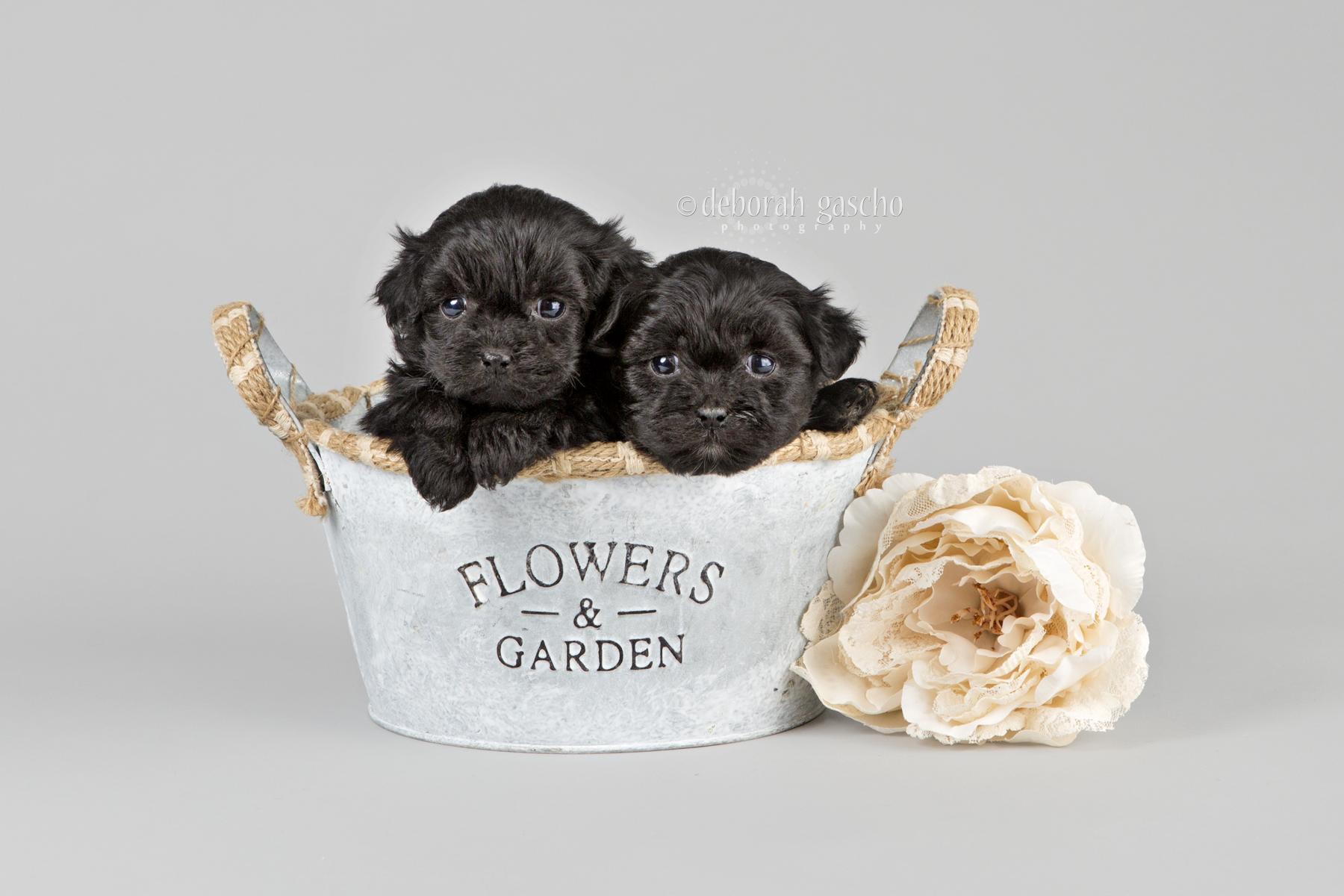 So Precious Our Peekapoo Puppies Willowbrook Kennel