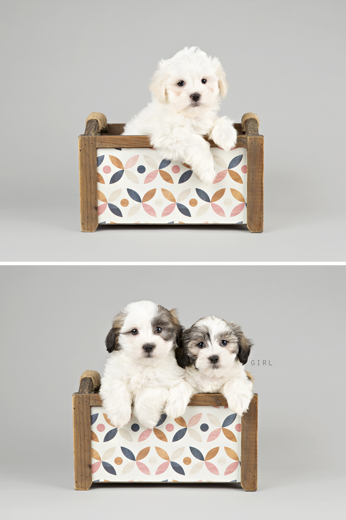 """alt=""""malshi puppies for sale in ontario"""""""
